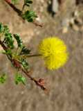 Acacia nebrownii