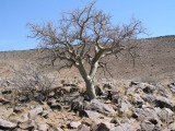 Commiphora glandulosa