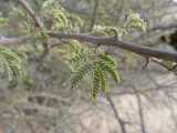 Acacia reficiens subsp reficiens